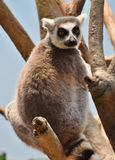 Ring-tailed Lemur Lemur catta Stock Photo