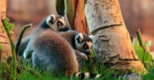 Ring-tailed Lemur Lemur catta. Gray Ring-tailed Lemur Lemur catta Royalty Free Stock Photo