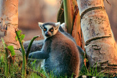Ring-tailed Lemur Lemur catta. Gray Ring-tailed Lemur Lemur catta Royalty Free Stock Image