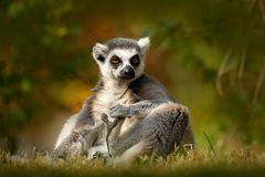 Ring-tailed Lemur, Lemur catta, with green clear background. large strepsirrhine primate in the nature habitat. Cute animal from M Stock Photo