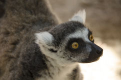 Ring tailed lemur, Lemur catta Royalty Free Stock Images