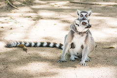 Ring-tailed lemur (Lemur catta) and her baby Royalty Free Stock Photo
