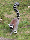 Ring-tailed lemur (Lemur catta) moving on the ground Stock Image