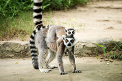 ring-tailed lemur (lemur catta) Royalty Free Stock Photos