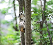 Ring-tailed Lemur. Lemur catta. Stock Image