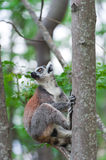 Ring-tailed Lemur. Lemur catta. Royalty Free Stock Image