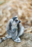 Ring-tailed Lemur. Lemur catta. Stock Photography