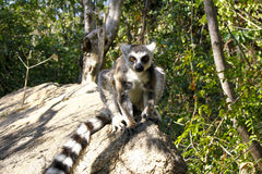 Ring-tailed lemur (lemur catta), madagascar Royalty Free Stock Photos