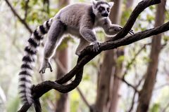 Ring-tailed lemur (Lemur catta). Madagascars Ring-tailed lemur sitting on the tree in guangzhou wildlife zoo Royalty Free Stock Photography