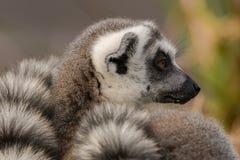 Ring-tailed lemur & x28;Lemur catta& x29;. Most familiar large strepsirrhine primate in the family Lemuridae in profile Royalty Free Stock Photo