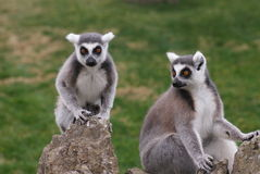 Ring-tailed Lemur - Lemur catta Stock Image