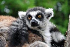 Ring-tailed lemur (Lemur catta) Royalty Free Stock Photography