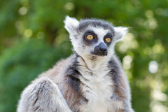 Ring tailed lemur (lemur catta) Stock Photo
