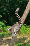 Ring-tailed Lemur,Lemur catta Royalty Free Stock Images