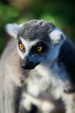 A ring-tailed lemur (lemur catta) Stock Photo