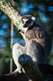 A ring-tailed lemur (lemur catta) Royalty Free Stock Image