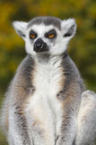 Ring-tailed lemur  (Lemur catta) Stock Photography
