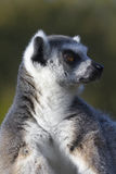 Ring-tailed lemur  (Lemur catta) Stock Photo