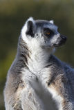 Ring-tailed lemur  (Lemur catta) Royalty Free Stock Photo