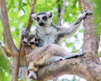 Ring-tailed lemur (lemur catta) ring-tailed lemur Stock Photos