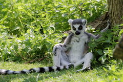 Ring-tailed lemur (Lemur catta) in shade Stock Photography