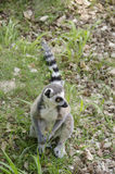 Ring tailed lemur, Lemur catta Royalty Free Stock Photo