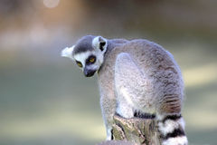 Ring-tailed lemur (Lemur catta) sitting on a log Royalty Free Stock Photography