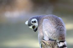 Ring-tailed lemur (Lemur catta) sitting on a log Stock Image