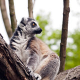 Ring-tailed lemur (Lemur catta) Stock Photos