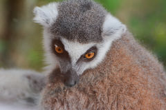 Ring-tailed lemur (Lemur catta). Stares at something Royalty Free Stock Image