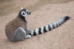 Ring-tailed lemur Lemur catta Stock Photography