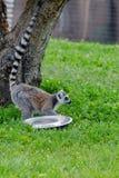 Ring tailed lemur Lemur Catta in a zoo. Turkey stock photos