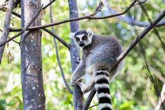 Ring-tailed lemur, lemurcatta, anja Royaltyfri Foto