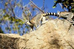 Ring-tailed lemur, lemurcatta, anja Arkivfoton