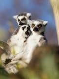 Ring-tailed lemur (Lemurcattaen) Arkivbilder