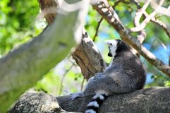 Ring-Tailed lemur (lemuridae). Ring-Tailed lemur sitting on a tree branch with its long tail hanging down, and meditating.  Photographed in Zoo Miami, South Royalty Free Stock Images