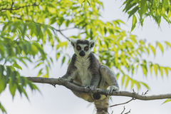 Ring - tailed lemur Royalty Free Stock Photography
