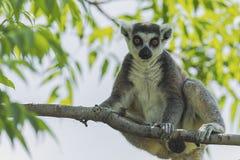 Ring - tailed lemur Royalty Free Stock Photo