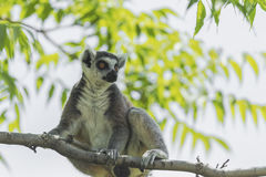 Ring - tailed lemur Stock Images
