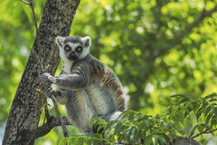 Ring - tailed lemur Royalty Free Stock Photo