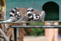 Ring-tailed lemur Stock Photography