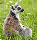 Ring-tailed lemur 2 Stock Photography