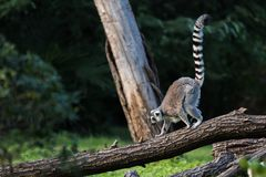 Ring-tailed lemur. Scientific name: Lemur catta, also known as nocturnal lemur. Is the only species of genus Lemur under the genus Lemur. Located in southern Royalty Free Stock Photography