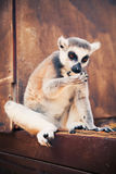 Ring-tailed lemur licking his paws Royalty Free Stock Photography