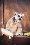 Ring-tailed lemur licking paw Royalty Free Stock Photos