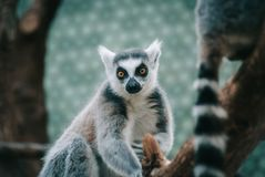 Ring-tailed lemur a limp looking straight at the camera in a zoo with colorful background. And focus on foreground Royalty Free Stock Photo