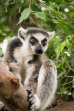Ring-tailed lemur. Listening (Lemur catta Royalty Free Stock Photo