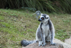 An  ring-tailed lemur. A little lemur watching around royalty free stock photos