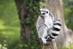 Ring-tailed lemur on a log Stock Photo
