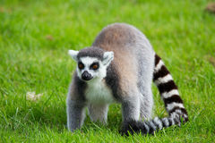 Ring tailed Lemur at Longleat Wildlife Park Royalty Free Stock Photo